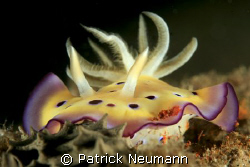 Nudi from Papua, Milne Bay Liveaboard with Spirit of New ... by Patrick Neumann 